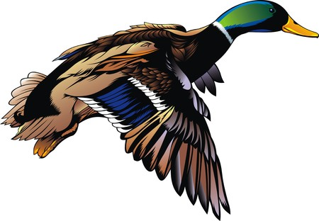 Canard sauvage voler isolé sur le fond blanc Banque d'images - 38367947