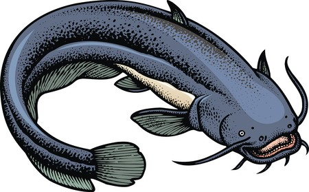 big catfish isolated on the white background Illustration