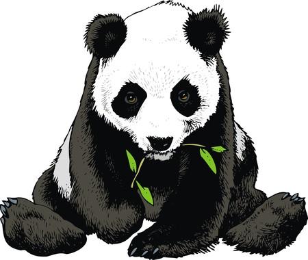 oso panda está comiendo bambú aislado en el fondo blanco