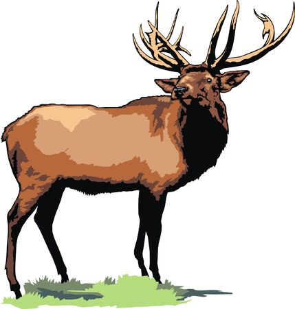 buck: wild big buck isolated on the white background Illustration