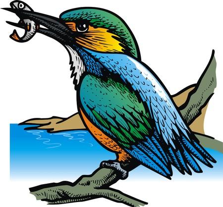 halcyon: kingfisher bird on the river as nice illustration