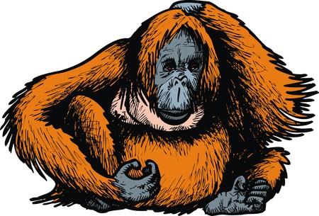 big orangutan monkey isolated on the white background Vektoros illusztráció