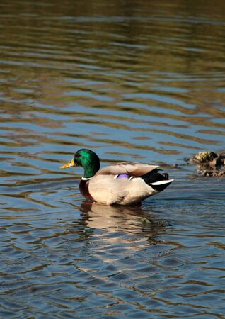 Mallard in the marsh