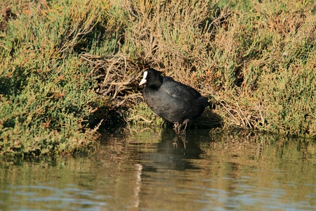 Coot in the marshes
