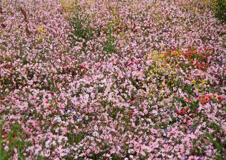 Champ fleuri au printemps Banque d'images - 12076942