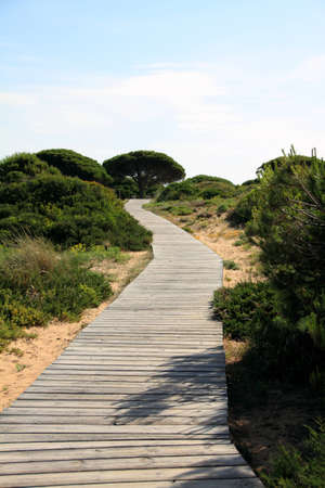 Path between pine trees