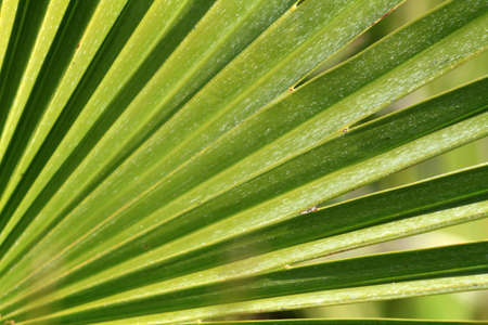 Texture of leaves of a palm fora Stock Photo