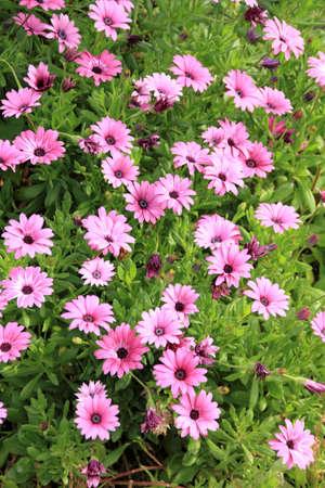 Flowers of wild daisies