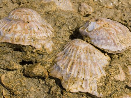 Sedimented shells bivalves