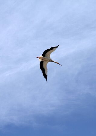Stork in flight, natural reserve of Los Toru�os, Puerto Real, Spain Stock Photo