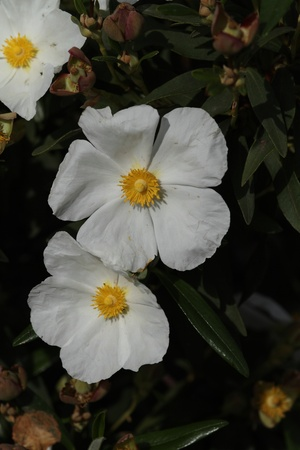 Salvifolius cistus Stock Photo - 13589417