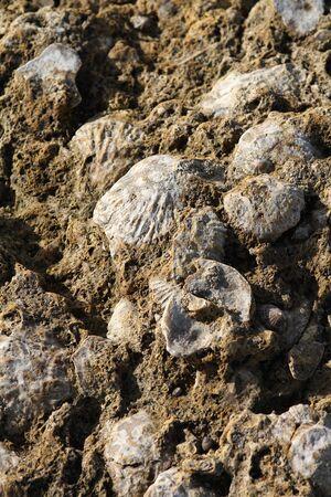 Conchas de bivalvos sedimentadas