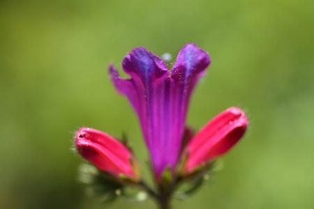 Echium vulgare, chupamieles, lengua de vaca, viborera Stock Photo