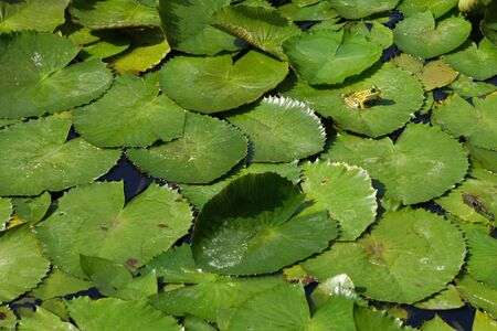 Nice green frog siting on leaves of water lilly on lake in piestany spa in Slovak republic Stock Photo