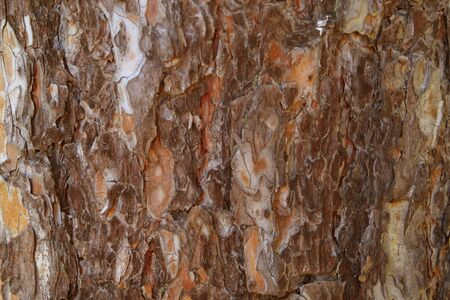 softwood: Background texture of Coarse blotched bark of pine tree