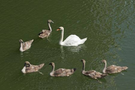 Swan family on river in piestany spa in europe Stock Photo