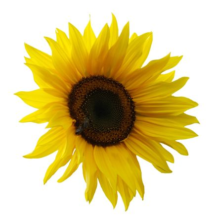 nice fresh sunflower isolated on white background Stock Photo