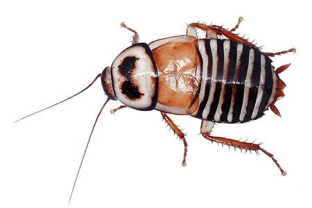 eurycotis decipiens Vector