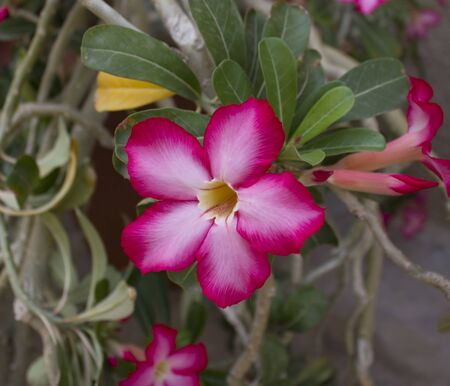 adenium obesum balf: Common Name: Desert Rose, Impala Lily, Mock Azalea.Scientific Name: Adenium obesum Balf.