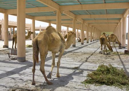 camel farm in bahrain  united arab emirates