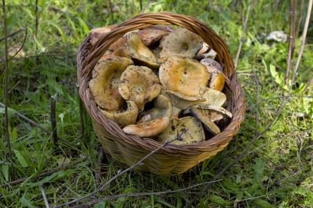 lactarius: basket of mushrooms with Lactarius deliciosus  Rovello, Robellon  Stock Photo