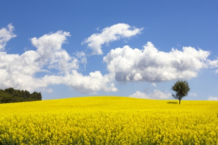 Rapeseed field, Brassica napus, in Catalonia, Spain  These fields are cultivated for  vegetable oil for human consumption, forage and biodiesel  photo