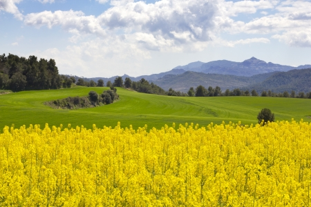 Rapeseed field  Brassica napus  with Natural Park of Sant Llorenç del Munt and l Stock Photo