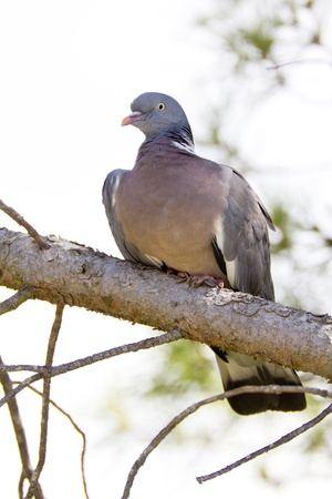 largest: Common Wood Pigeon  Columba palumbus , From the family of pigeons, is the largest  Is at especially in the Iberian Peninsula, Europe  This photo is from Catalonia  Stock Photo