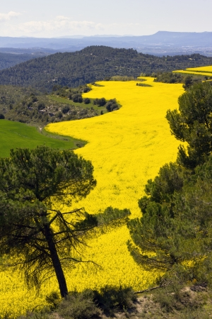 napus: Rapeseed field  Brassica napus  in Catalonia, Spain  These fields are cultivated for  vegetable oil for human consumption, forage and biodiesel