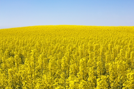 Rapeseed field  Brassica napus  in Catalonia, Spain  These fields are cultivated for  vegetable oil for human consumption, forage and biodiesel