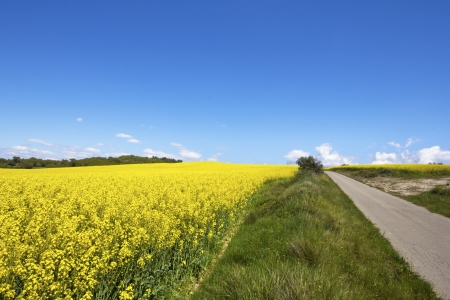 rapaseed: Rapeseed field  Brassica napus  between road in Catalonia, Spain  These fields are cultivated for  vegetable oil for human consumption, forage and biodiesel