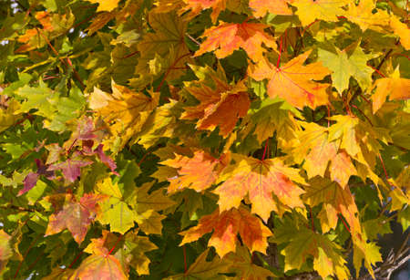 distinct: background leaves of autumn with distinct colours Stock Photo