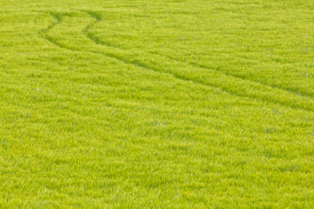 trace: The trace of a tyre (ruts) in the wheat field