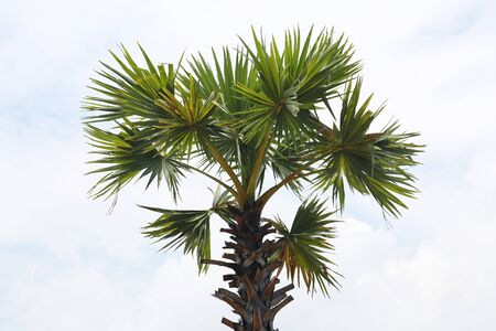 tropical evergreen forest: Palm tree in the blue sky Stock Photo