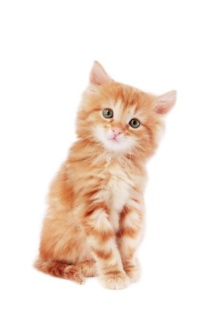 Cute foxy-red kitten sitting on white background  photo