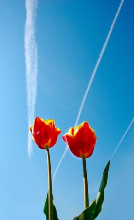 two red and yellow tulips on the sky beckground photo