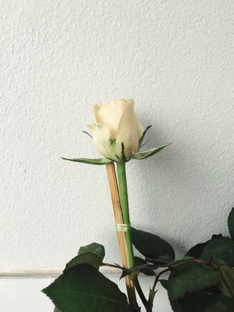 white: white rose
