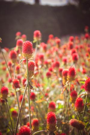 trefoil: Beautiful alfalfa flower field Stock Photo