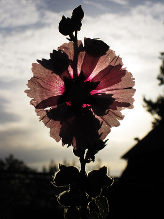 A beautiful flower silhouette at sunset in hot summer evening