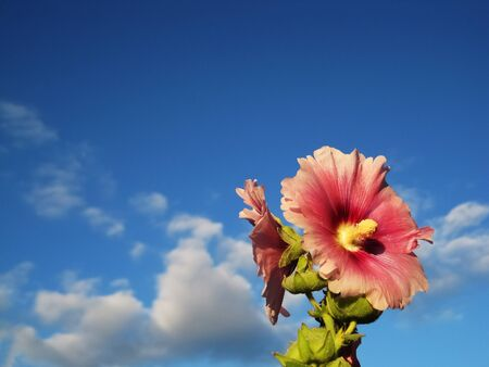 A beautiful pink flower looks at the sky on a sunny day