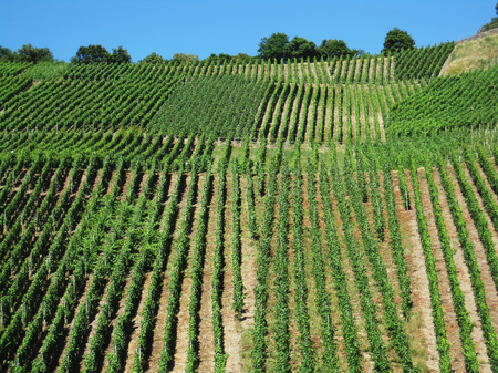 Many plots of green vineyards on hill at hot sunny afternoon