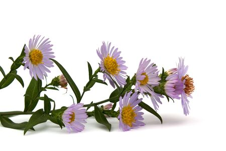 Branch of violet colours on a white background.