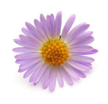 Fleur pourpre. Photos isolées sur fond blanc.