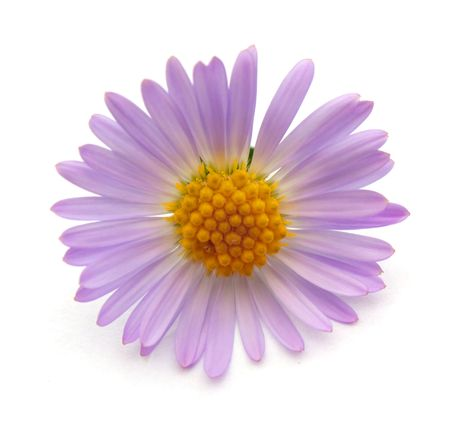 Purple flower. Photos isolated on white background.