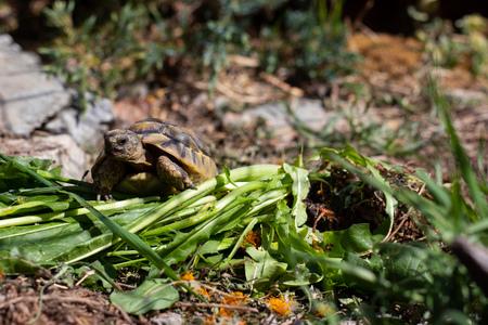 Greek tortoises enjoy the sun