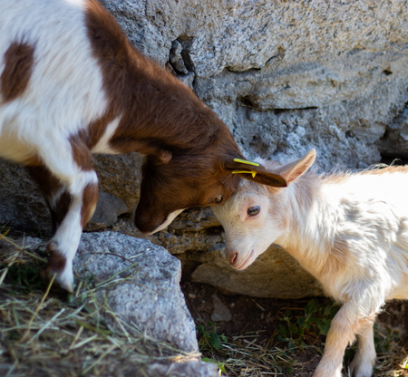 The playful fight of the dwarf goats