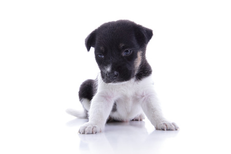 animal sad face: Sad little puppy sitting and looking down, isolated on white background