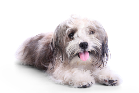 lay down: Cute havanese puppy looks dirty but happy, lay down on white studio background