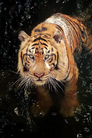 panthera tigris sumatrae: A tiger in the stream, looking up at camera