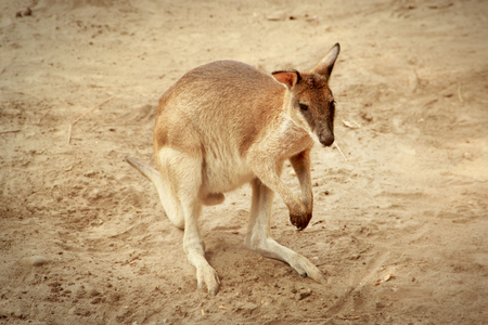 wallaby: A wallaby in its desert habitat Stock Photo